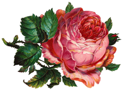 Pink Rose Botanical Illustration